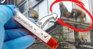 Un grupo de monos roban muestras del virus COVID-19 en un laboratorio en la INDIA